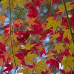 Marple leaves - Autumn in Japan